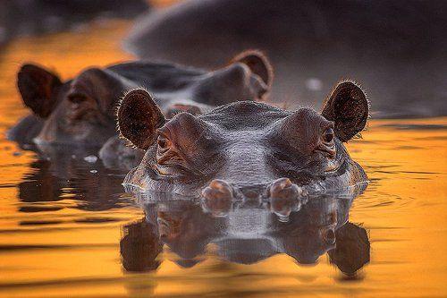 Восходящее солнце золотило уши бегемота