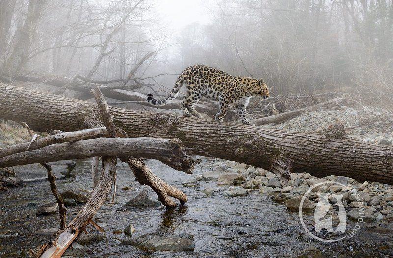 дальневосточный леопард, дикая природа россии, николай зиновьев Утро туманноеphoto preview