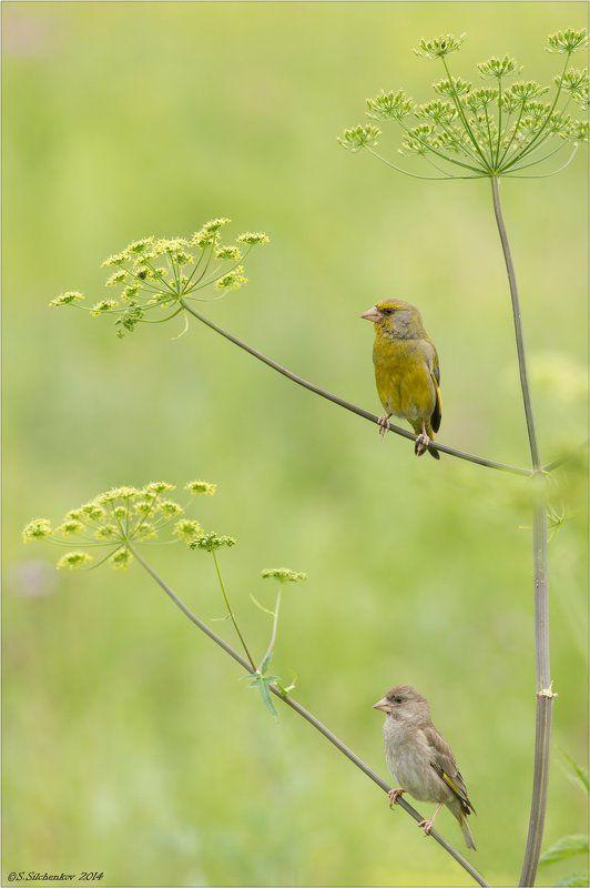 Зеленушка, Птицы Ты на одном, ну а я на другом...photo preview