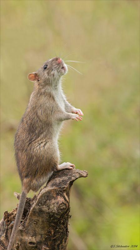 Крыса, Природа, Фотоохота Соловей разбойникphoto preview