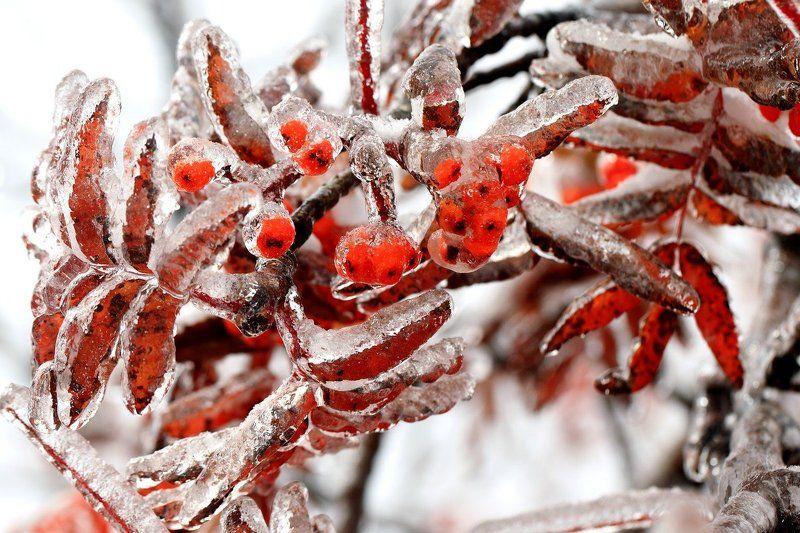 Зимняя рябинаphoto preview