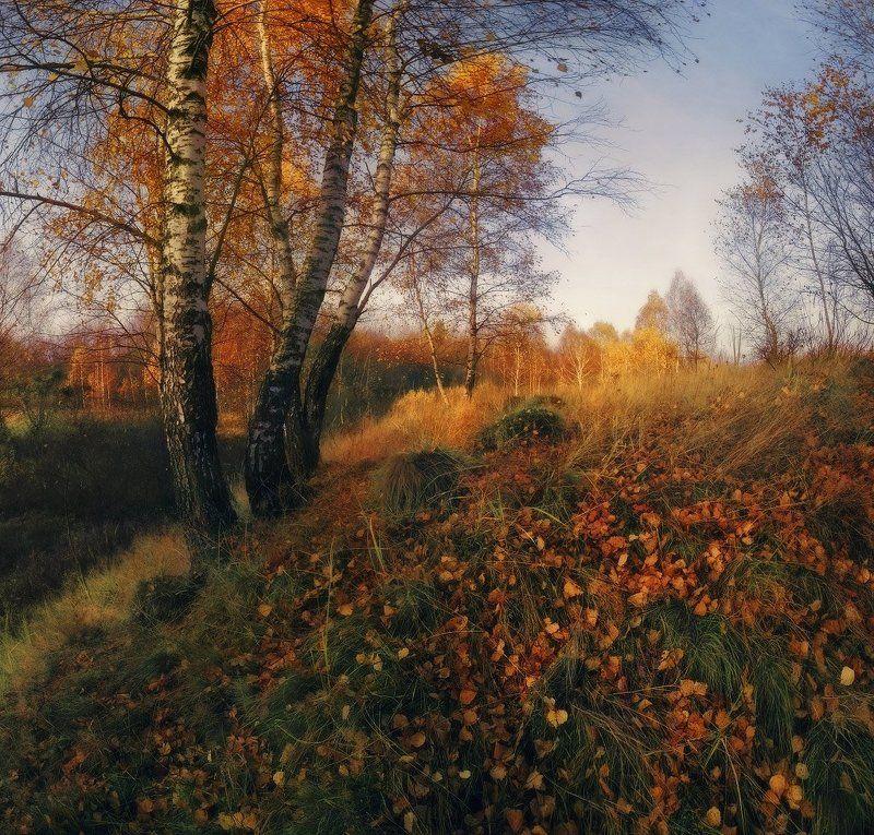Березы, Листья, Осень, Утро Березовая осеньphoto preview