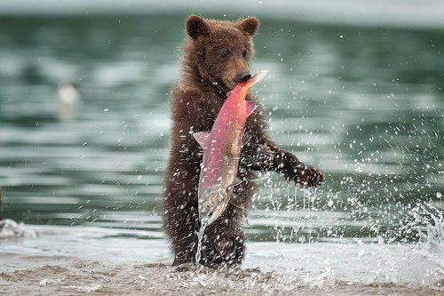 медведя ловят рыбу видеоролик