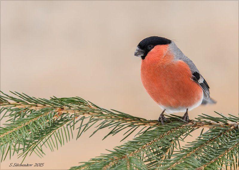 птицы, снегирь, самец, самка Снегири.photo preview