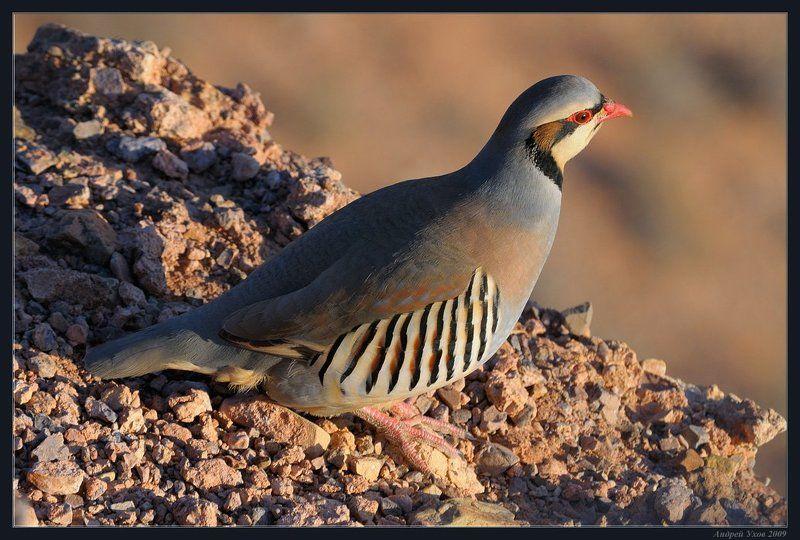 природа,животные,пустыня,каньон,птица,куропатка,скалы,вечер Встречи на скалахphoto preview