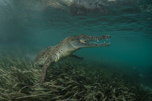 Крокодилья грация