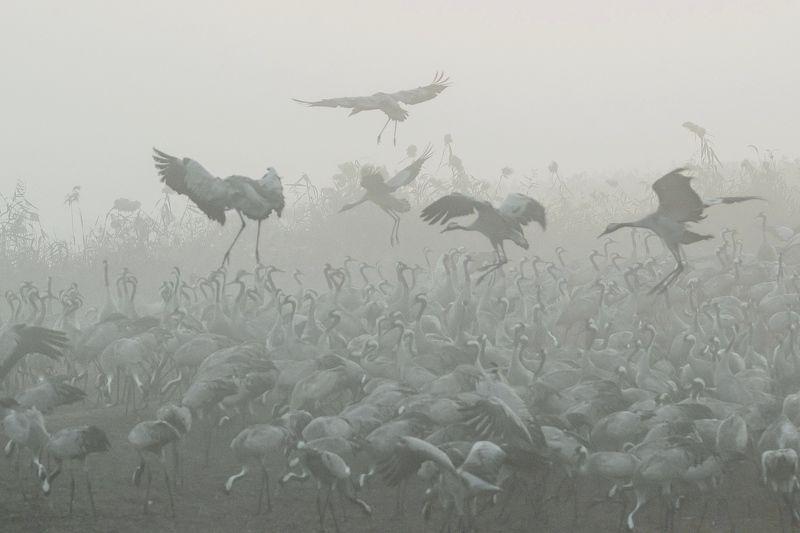 Журавли, Природа, Птицы, Туман, Утро Журавушки в густом тумане...photo preview