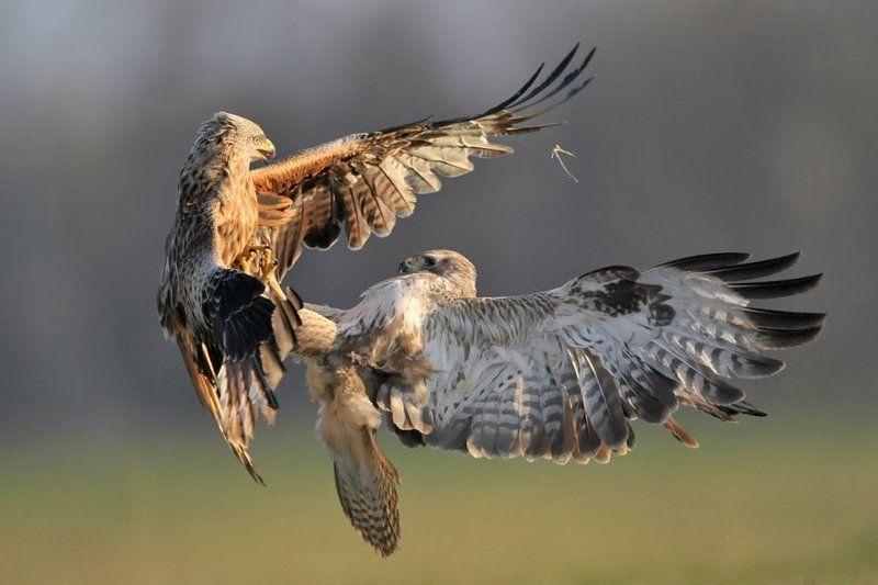 Red kite vs Buzzardphoto preview