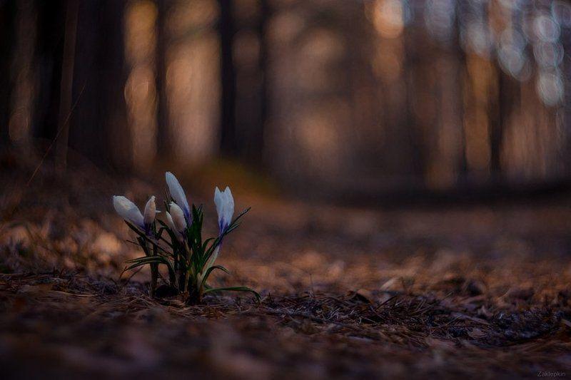 макро,весна,цветок Пробуждениеphoto preview