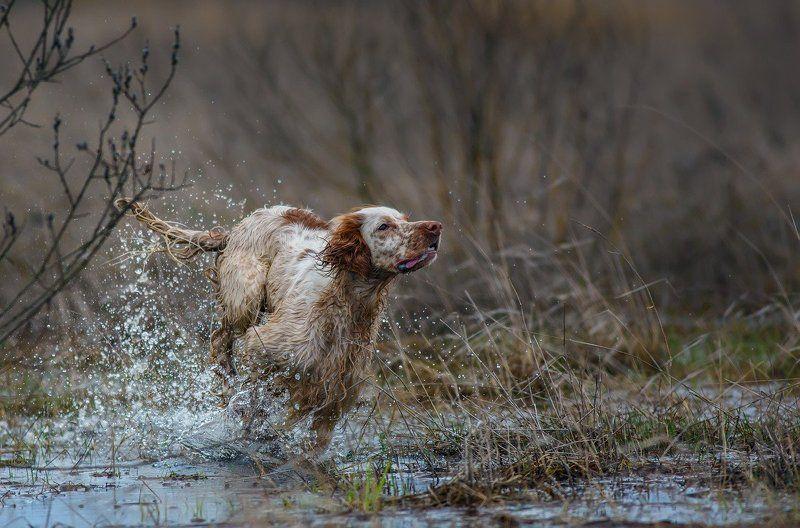 английский сеттер, бег, брызги, весна, движение, охота, сеттер в движении, собака, легавая собака Весенний ветер.photo preview