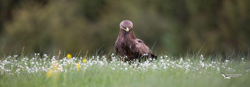 малый, подорлик, aquila, pomarina, lesser, spotted, eagle Цветы для любимойphoto preview
