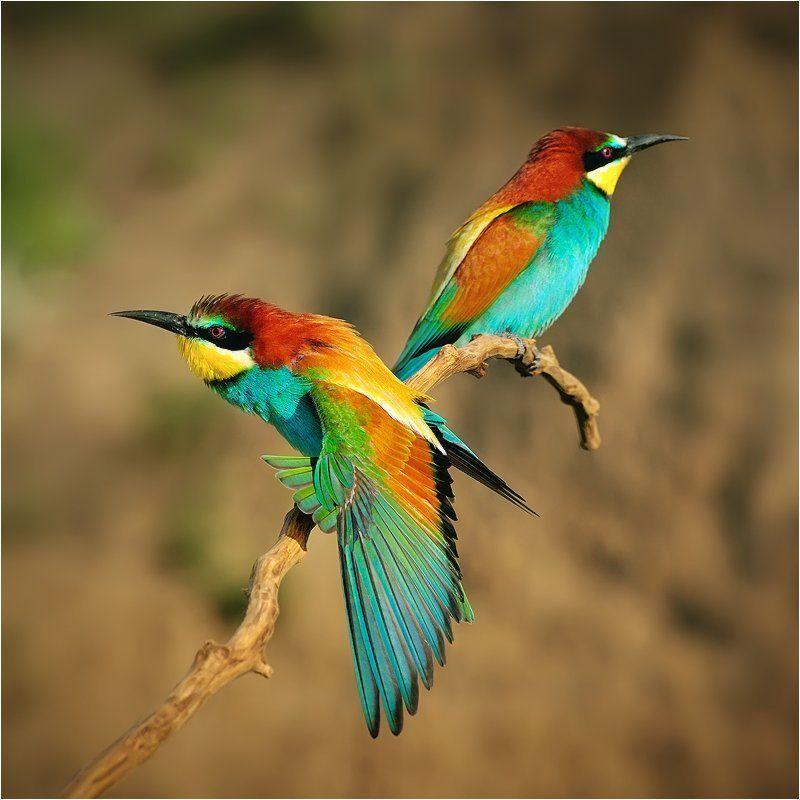 Birds, European Bee-eater, Wildlife Золотистые щуркиphoto preview