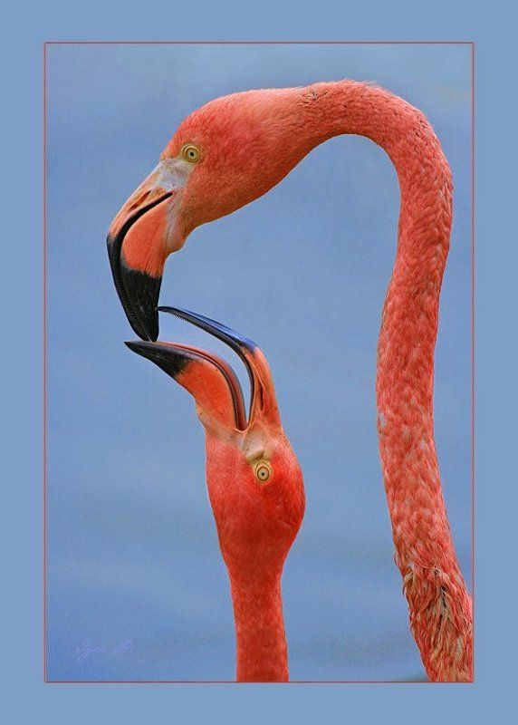 про фламинго...photo preview