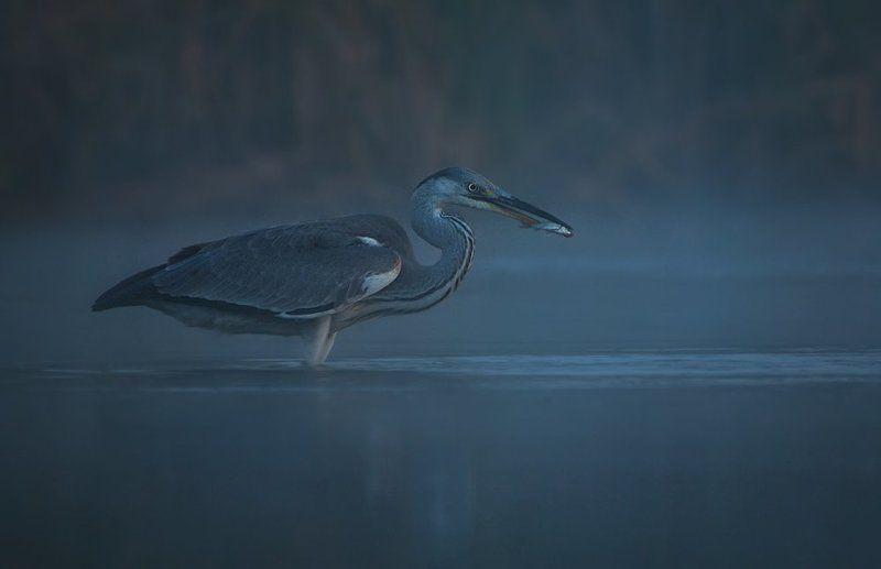 Bird, Heron, Night, Wildlife Ночная охота...photo preview