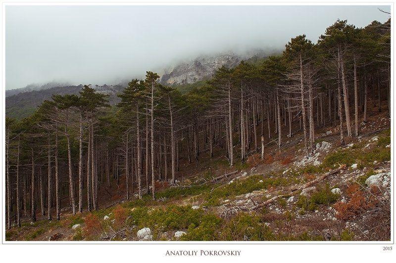 анатолий покровский, крым, лес, облако, сосна О тайнах лесных фракталовphoto preview