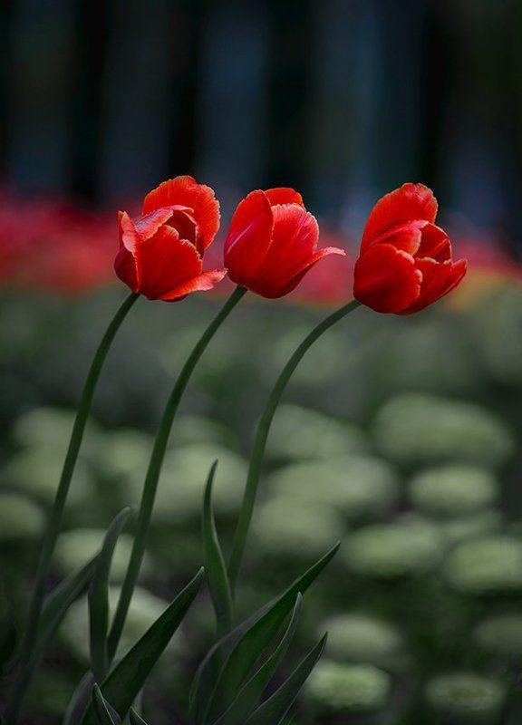 тюльпаныphoto preview