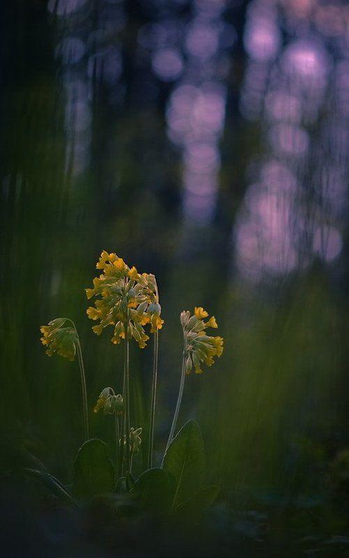 Боке, Весна, Вечер, Первоцвет, Цветы Вечерняя мелодияphoto preview