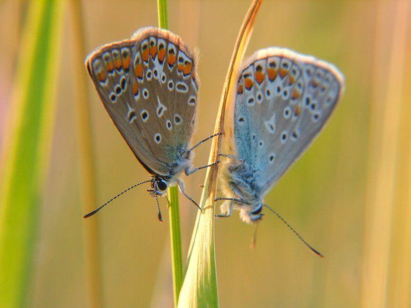 бабочка, голубянка, травинка Игра в пряткиphoto preview