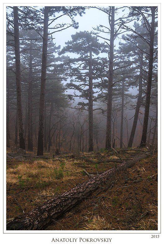 Анатолий покровский, Лес, Сосна, Туман Тишина сонного лесаphoto preview