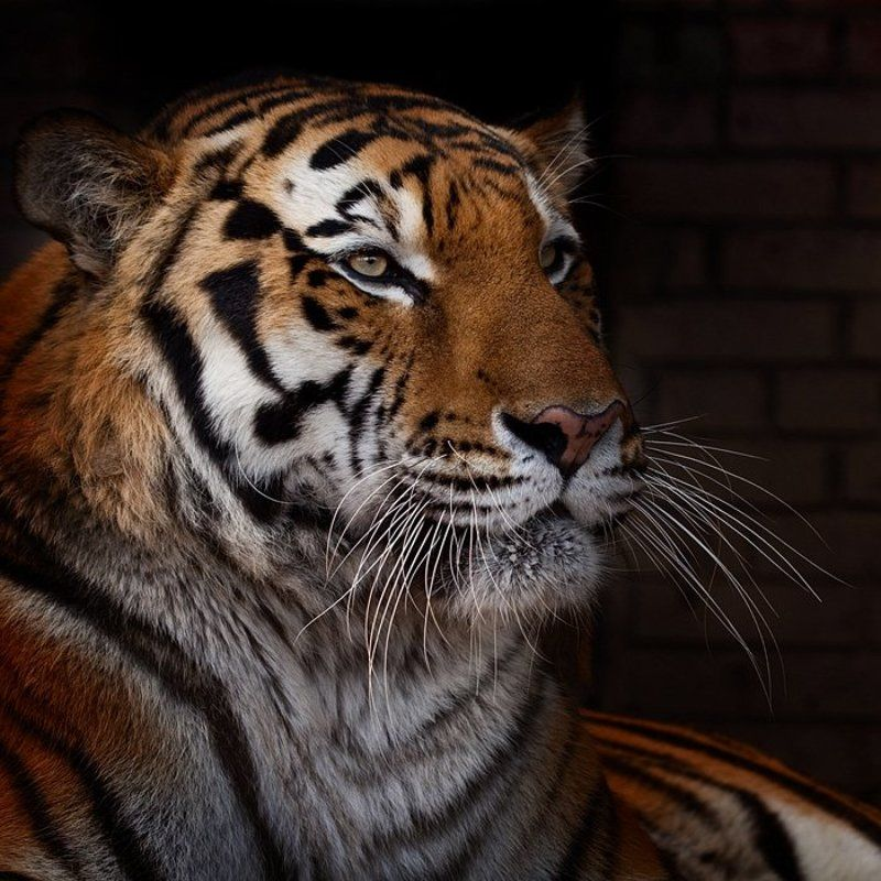 тигр, tiger Tigerphoto preview