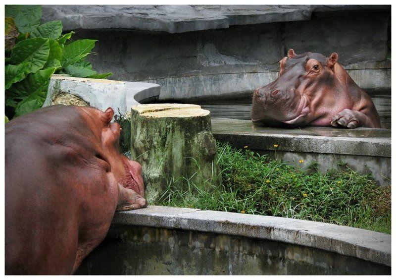 бегемотики, зоопарк в гуанчжоу Разговор по душам!photo preview