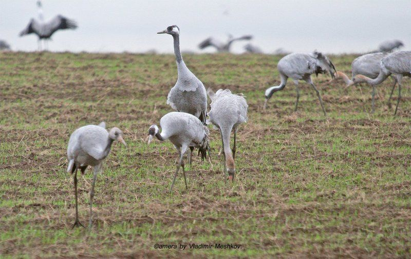 Gray Cranes. Early in the morning.photo preview