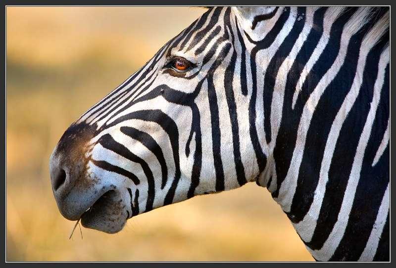 Африка, Ботсванна, Зебра Отрочествоphoto preview