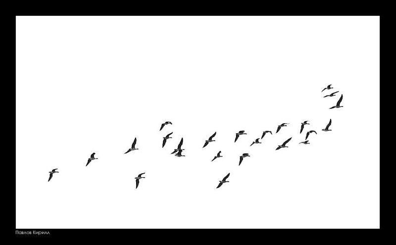 лебеди, дино Динолебедьphoto preview