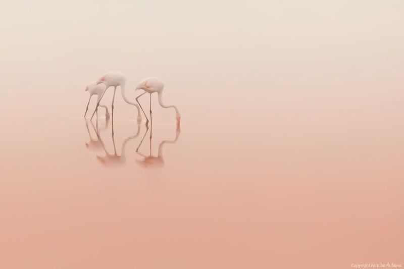 безмолвие, безмятежность,тишина, настроение, нежность, трио, озеро, природа, птицы, рассвет, спокойствие,утро, фламинго, розовый Розовая тишина...photo preview