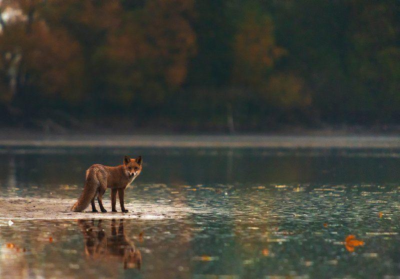 Autumn Foxphoto preview