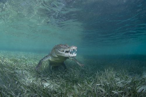 Милый крокодил