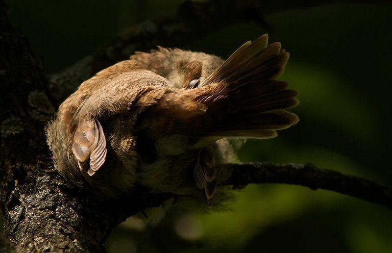 Птица Сладкий сон жуланчика.photo preview