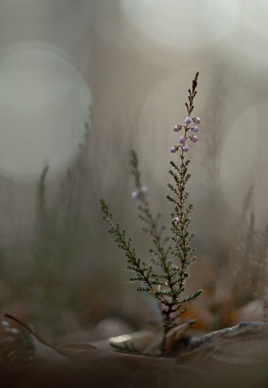 Болота, Вереск, Листва, Осень, Свет, Цветок Беззвучие осени...photo preview