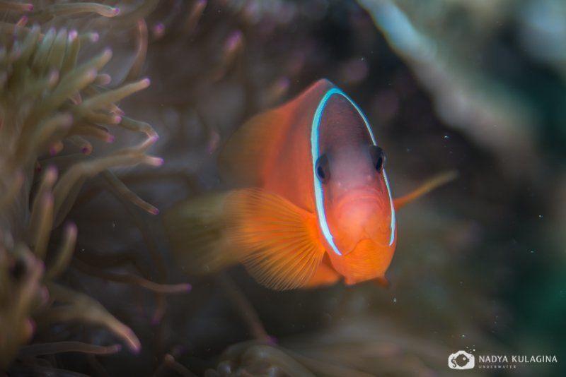 Anemone, Clown fish, Fish, Underwater, Амфиприоны Портретикиphoto preview
