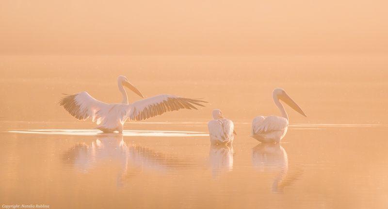 безмятежность, заповедник, красота, крылья, мечта, настроение, нежность, озеро, пеликаны, природа, птицы, рассвет, тишина, туман, утро - Доброе утро !photo preview