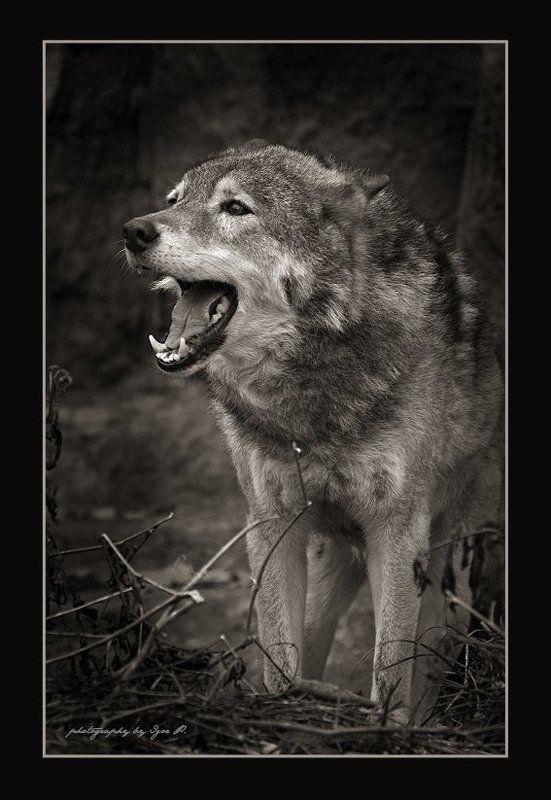 волчья радость...photo preview