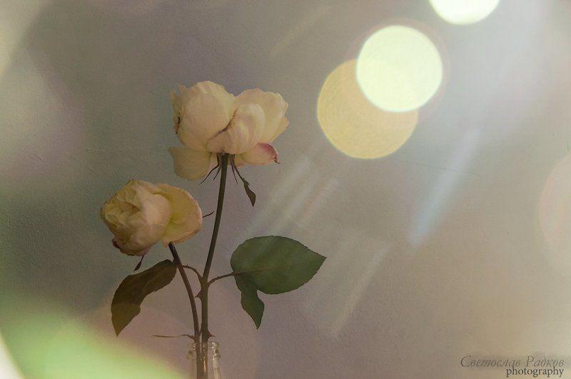 Натурморт, Рози, Слънце, Цветя Натюрморт с Розиphoto preview