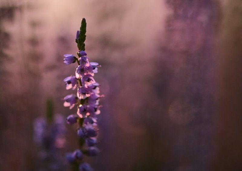 цветы, вереск, сладость, нежность Сладкая нежность photo preview