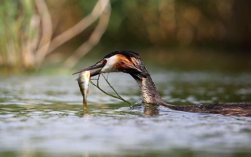 #birds, #fauna, #nature, #wildlife, #птицы, #чомга Опытный рыболовphoto preview