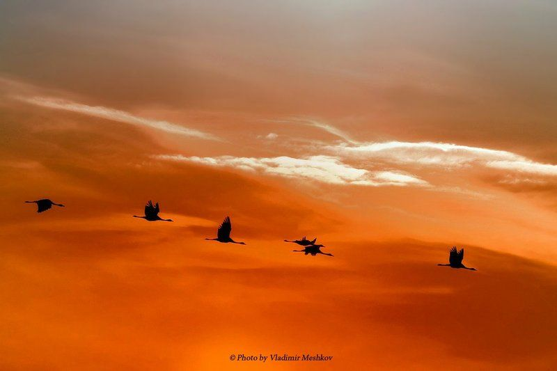 Gray Cranes. In SunSet.photo preview