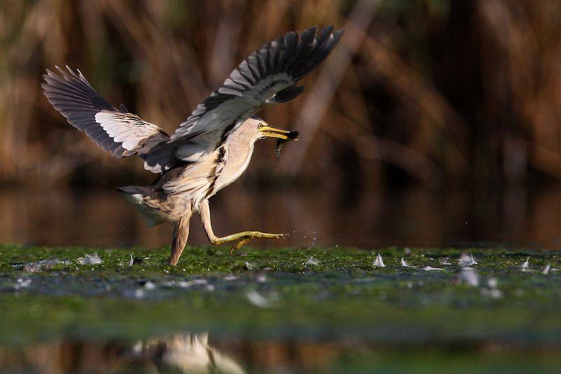 #birds, #fauna, #nature, #wildlife, #малая выпь, #природа, #птицы, #фауна, #цапля Малая выпь  (лат. Ixobrychus minutus)photo preview