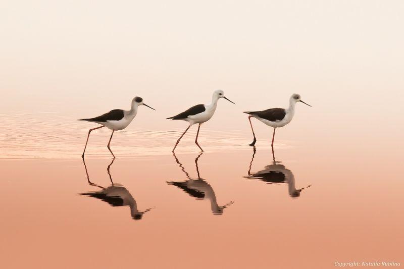 заповедник, озеро, отражения, природа, птицы, рассвет, ритм, розовый, трио, тройка, утро, ходулочник Трио ...photo preview
