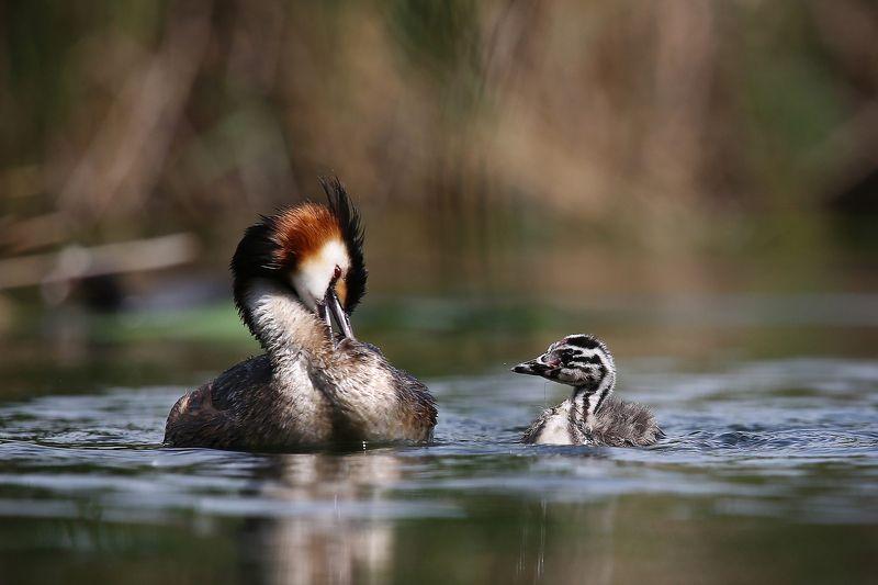 #birds, #fauna, #Grebe, #nature, #wildlife, #природа, #птицы, #чомга Уроки гигиеныphoto preview