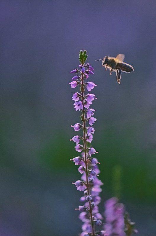 Вереск, Насекомое, Пчела, Труд, Цветы Трудягаphoto preview
