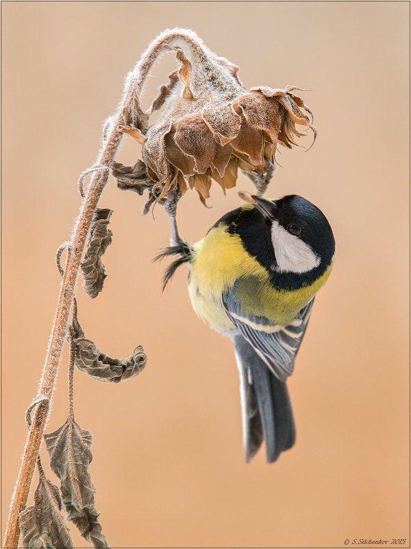 Птицы, Синица, Фотоохота Последняя семечка ...photo preview