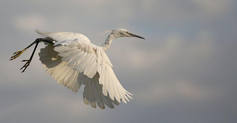 #birds, #Egretta garzetta, #fauna, #Little egret, #nature, #wildlife, #малая белая цапля, #природа, #птицы, #фауна Малая белая цапляphoto preview