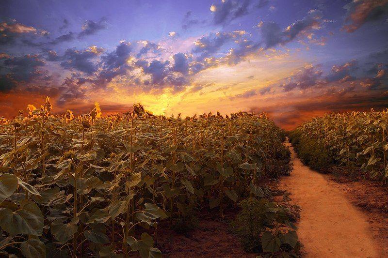 #небо #закат #подсолнухи #поле #лето На закатеphoto preview