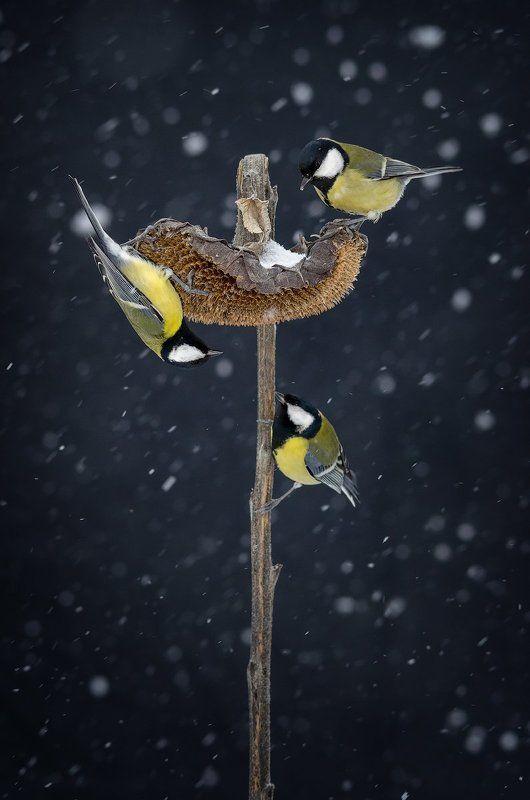 желтый, зима, синица, снег Триоphoto preview
