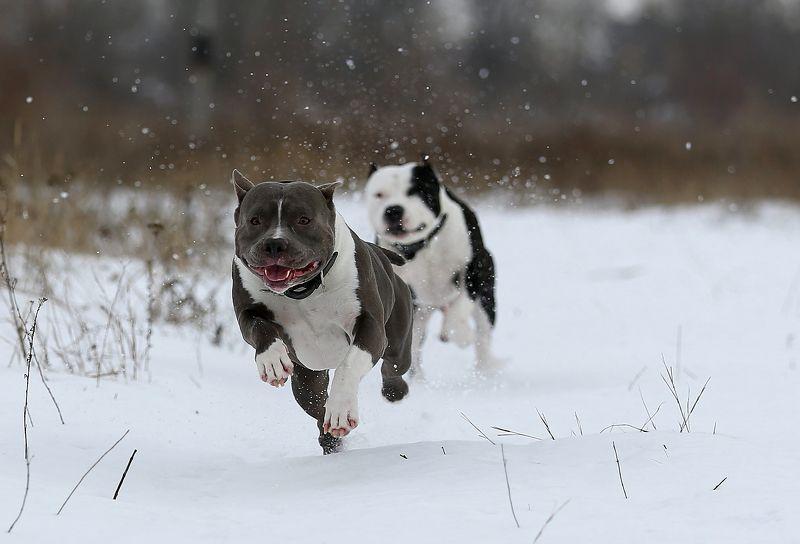 #animals, #dog, #nature, #snow, #winter, #зима, #прогулка, #снег, #собака, #стаффордширский терьер На прогулке...photo preview