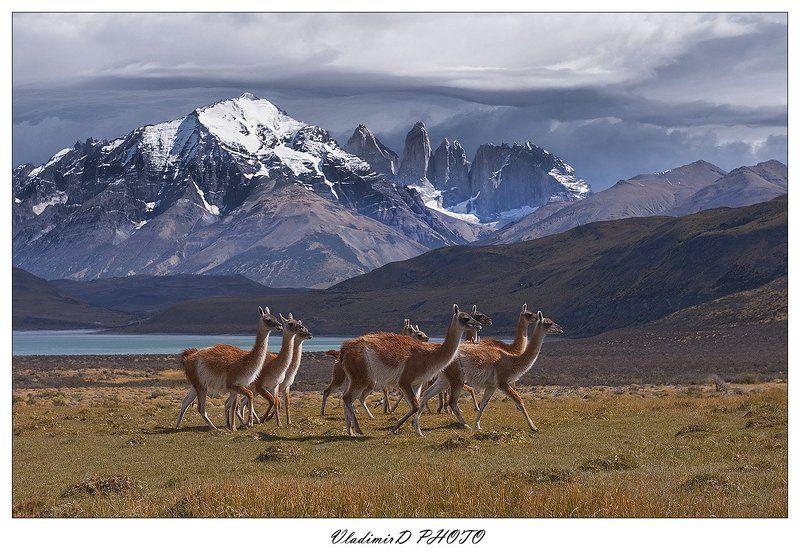 Гуанако, Патагония, Торрес дель пайне, Чили Гуанако в полях Господних.photo preview